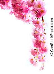 rosa, ciliegia, sakura, fondo, fiore, fiori