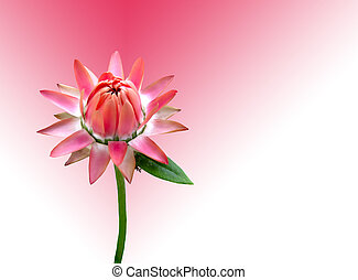 rosa, circa, germoglio, burst.
