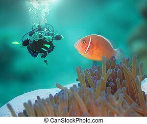 rosa, clownfish, tuffatore