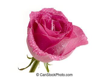 rosa colore rosa, &, goccioline