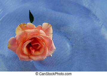 rosa colore rosa, in, acqua