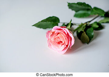 rosa colore rosa, isolato, singolo, fondo, bianco