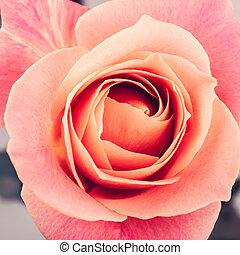 rosa colore rosa, primo piano