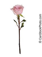 rosa colore rosa, singolo, bianco