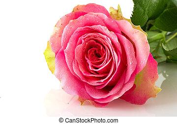 rosa colore rosa, singolo