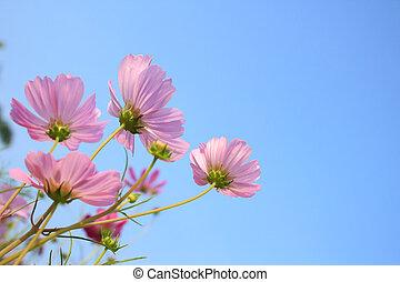 rosa, comos, flores, en, cielo