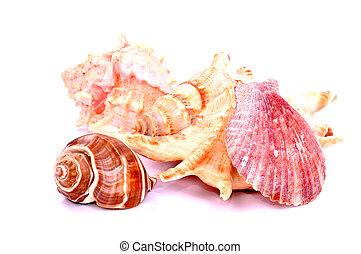 rosa, coraza marítima, aislado
