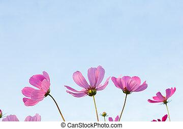 rosa, cosmos, flores, en, cielo, plano de fondo