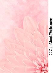 rosa, crisantemo, pétalos, tiro, macro