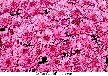 rosa, crysantheme, hintergrund