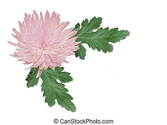 rosa, crysantheme