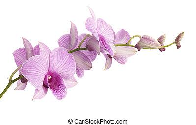 rosa, dendrobium, orchidee, freigestellt, weiß, hintergrund.