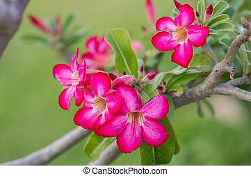 rosa, desierto