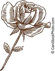 rosa, dibujo, uno