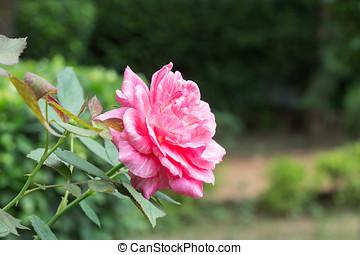 rosa, en el parque