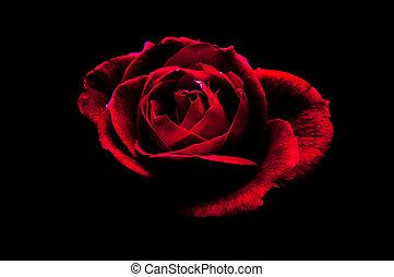rosa, en, negro