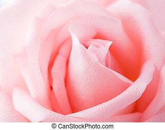 rosa, en, rosa