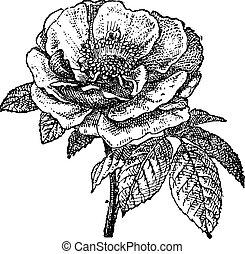 rosa, engraving., vendimia, provins