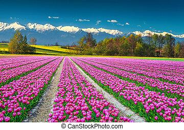 rosa, europa, bunte, snowy felder, tulpenblüte, hintergrund, berge