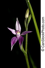 rosa, fata, orchidea
