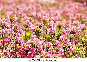 rosa, feld, azalee