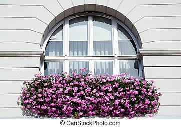 rosa, finestra, geranio