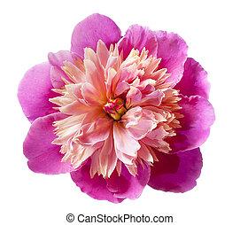 rosa, fiore, peonia, isolato, fondo, bianco