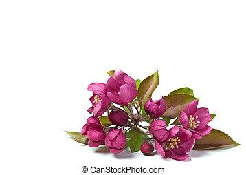 rosa, fiori, crabapple