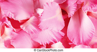 rosa, fiori primaverili