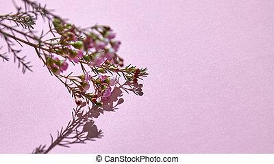 rosa, fiori primaverili, ramo, fondo