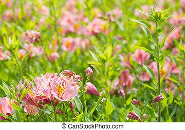 rosa, fioritura, giglio, giorno