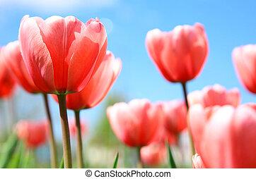 rosa, fjäder, tulpaner, mot, blåttsky