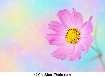 rosa, flor cosmos
