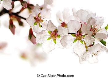 rosa, flor de cerezo