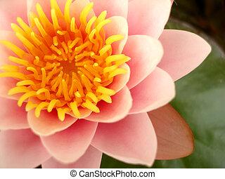 rosa, flor de loto