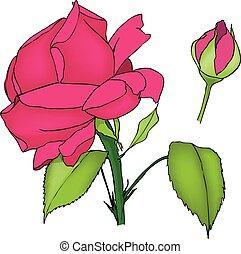 rosa, flor, y, bud., coloreado, vector, ilustración, blanco