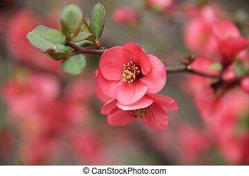 rosa florece, en, el, ramas, de, un, verde, arbusto