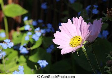 rosa florece, en, primavera