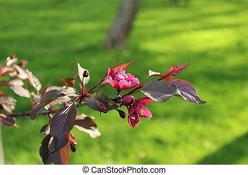 rosa florece, en un rama