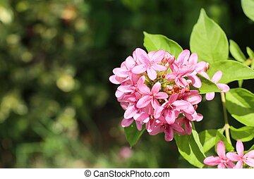 rosa florece