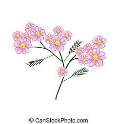 rosa, florecer, achillea, milenrama, millefolium, flores, o