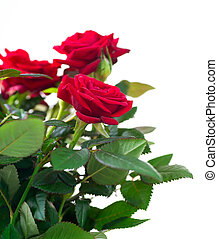 rosa, flores
