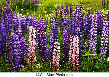 rosa, flores púrpuras, lupino, jardín