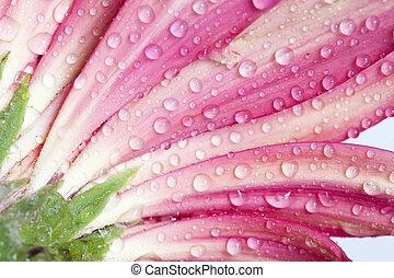 rosa, flowe, primer plano, gerbera daisy