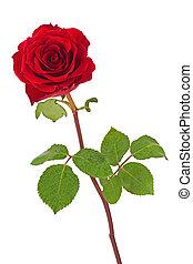 rosa, foglie, isolato, fondo., bianco rosso