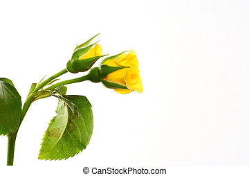 rosa, fondo blanco, aislado, amarillo