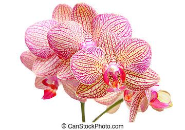 rosa, fondo blanco, orquídea
