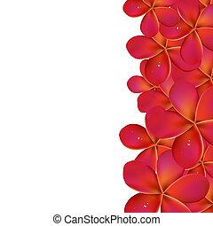 rosa, frangipani, bordo