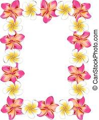 rosa, frangipani, marco, flores, blanco
