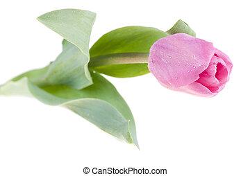 rosa, fresco, tulipán